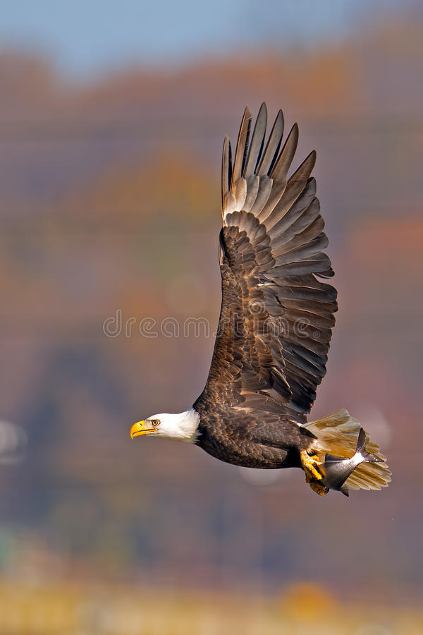 Download American Bald Eagle stock image. Image of king, fishing - 27614723