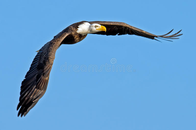 American Bald Eagle. In flight royalty free stock photo
