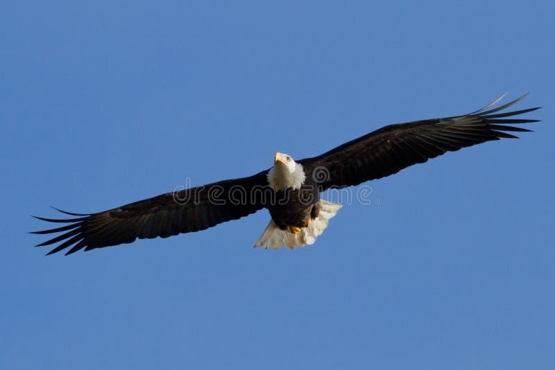 Download American Bald eagle stock image. Image of patriotism - 28369305