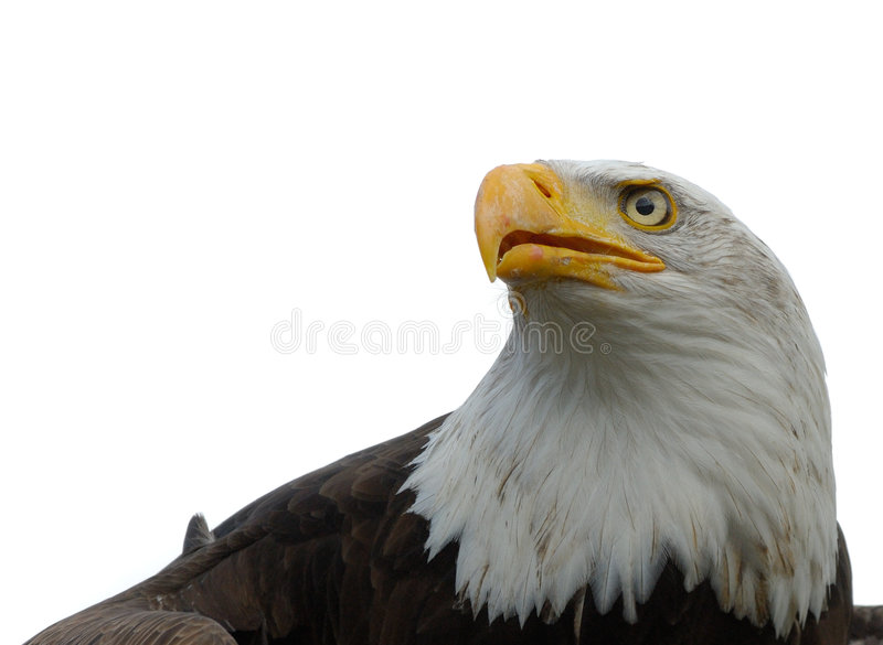 Download American Bald Eagle Royalty Free Stock Photography - Image: 4766467