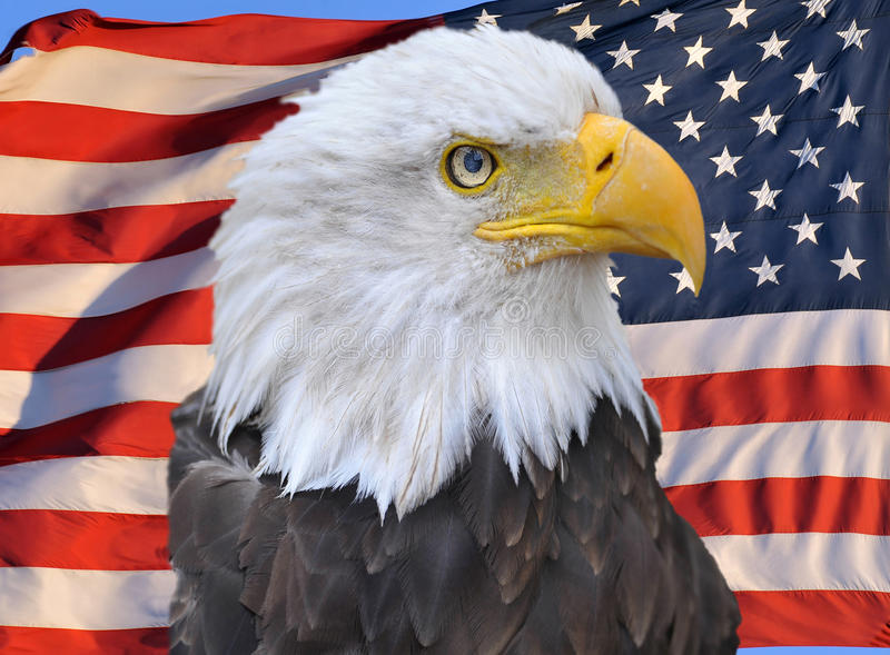 American bald eagle on american flag royalty free stock photo