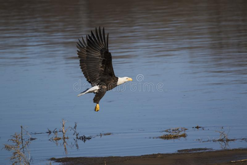 American bald eagle with bluewater background. American bald eagle in mid-flight royalty free stock photos