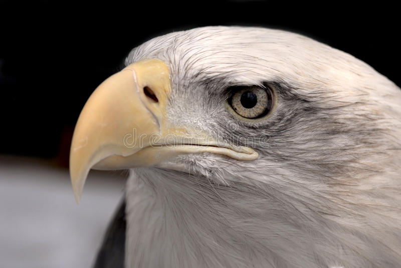 American bald eagle closeup. Detailed american bald eagle closeup stock images