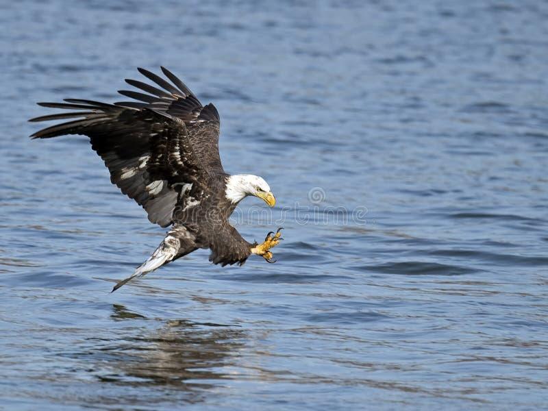American Bald Eagle Fish Grab. American Bald Eagle Grabbing Fish stock photography