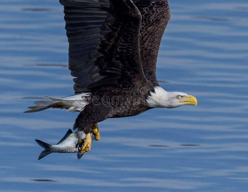 American Bald Eagle in flight. A Bald Eagle in flight carrying a shad it caught in a small river in Northern Maryland