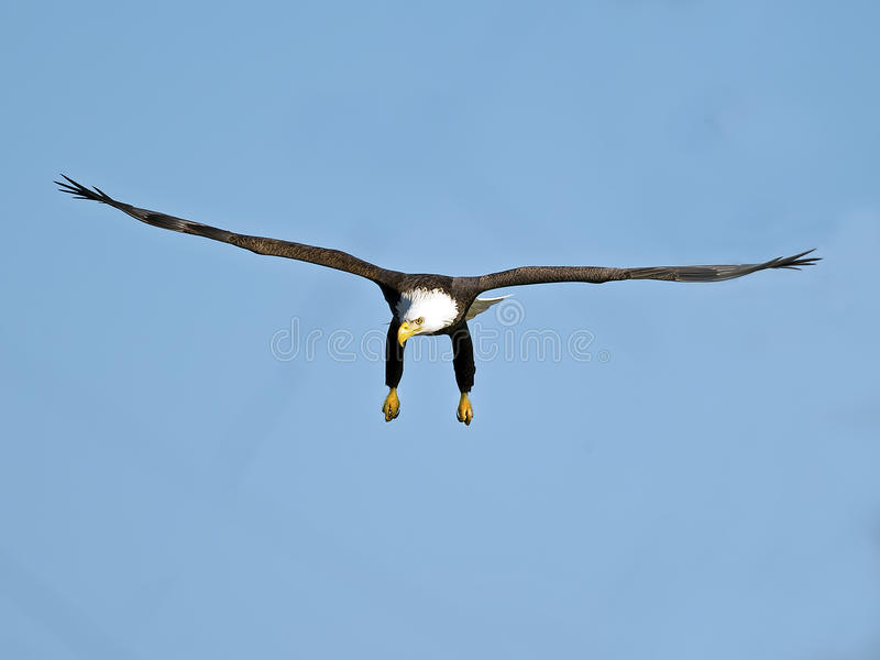 American Bald Eagle in Flight. Legs hanging down royalty free stock images