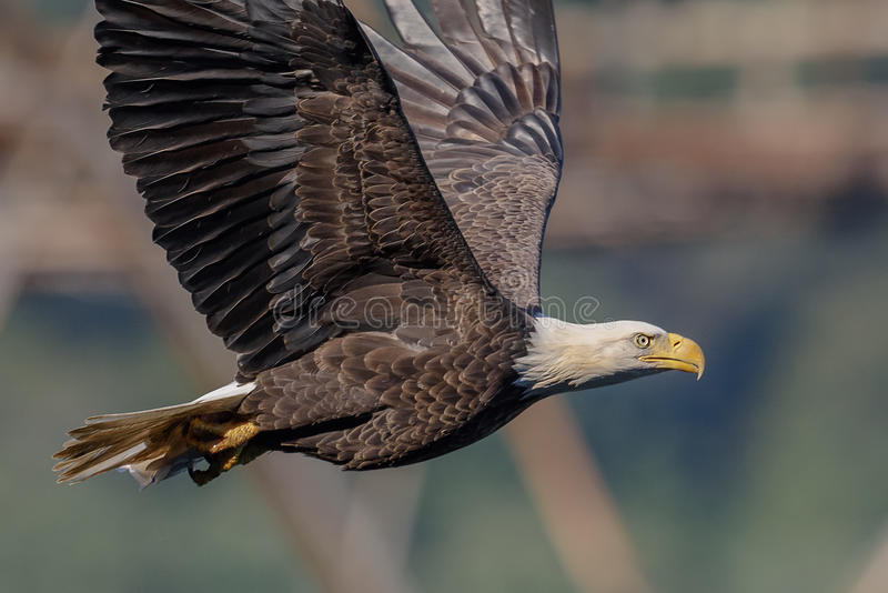 American Bald Eagle in flight. A Bald Eagle in flight over small river in Northern Maryland