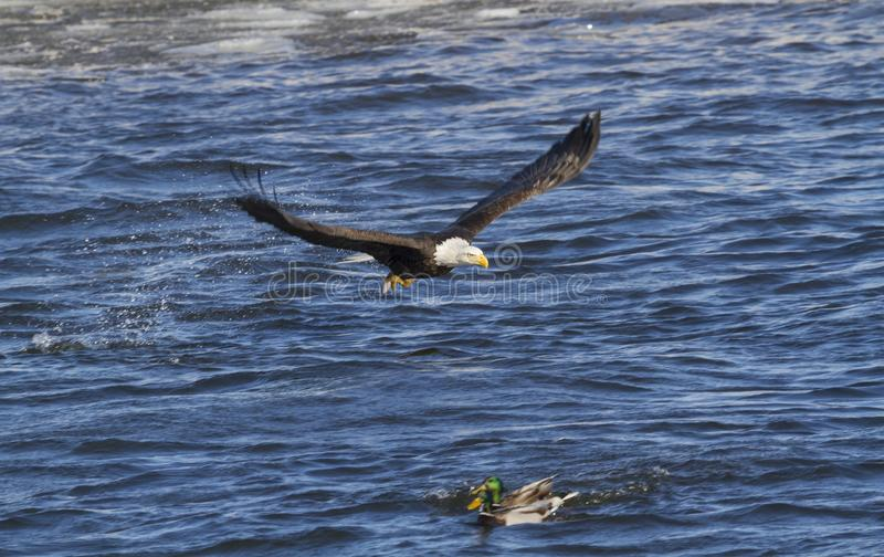The bald eagle In Flight with fish stock photos