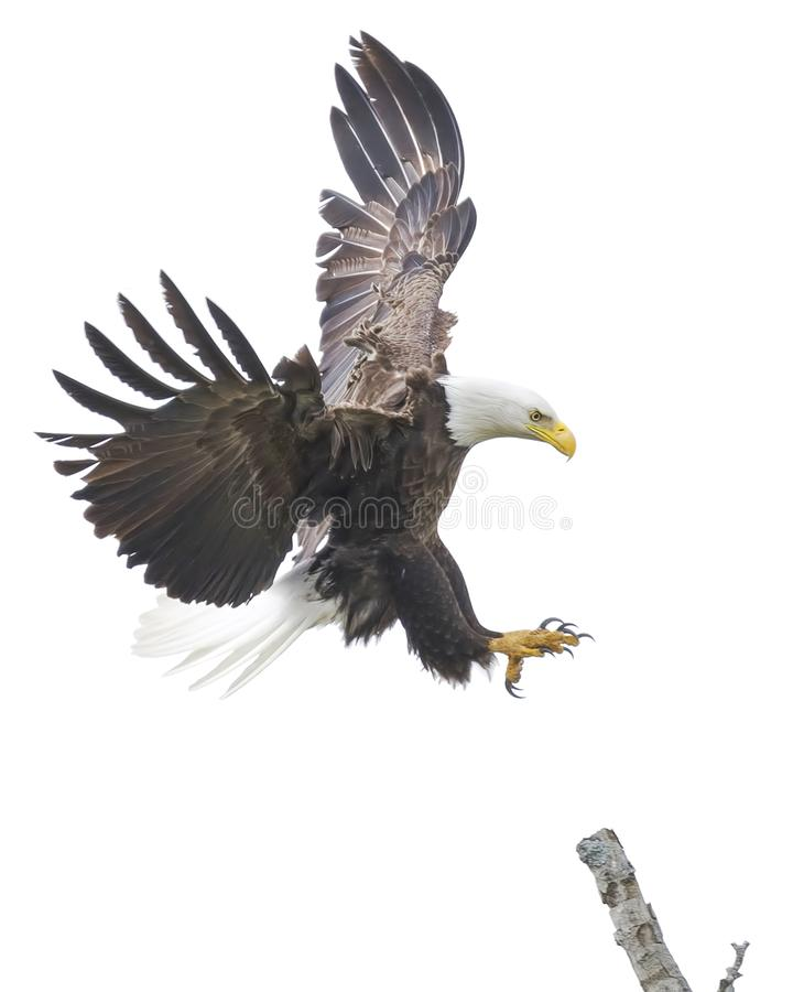 American Bald Eagle Landing on a Tree Branch royalty free stock photos