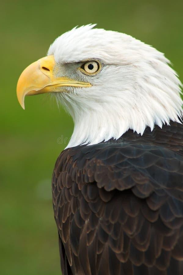 American Bald Eagle Left royalty free stock image
