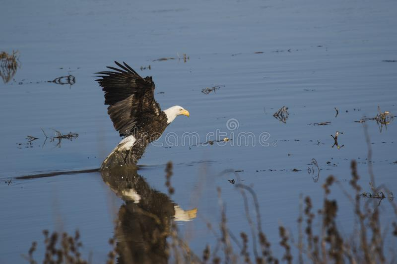 American bald eagle with bluewater background. American bald eagle in mid-flight stock photos