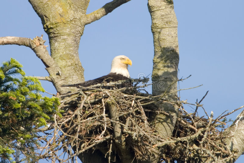American Bald Eagle in Nest royalty free stock photo