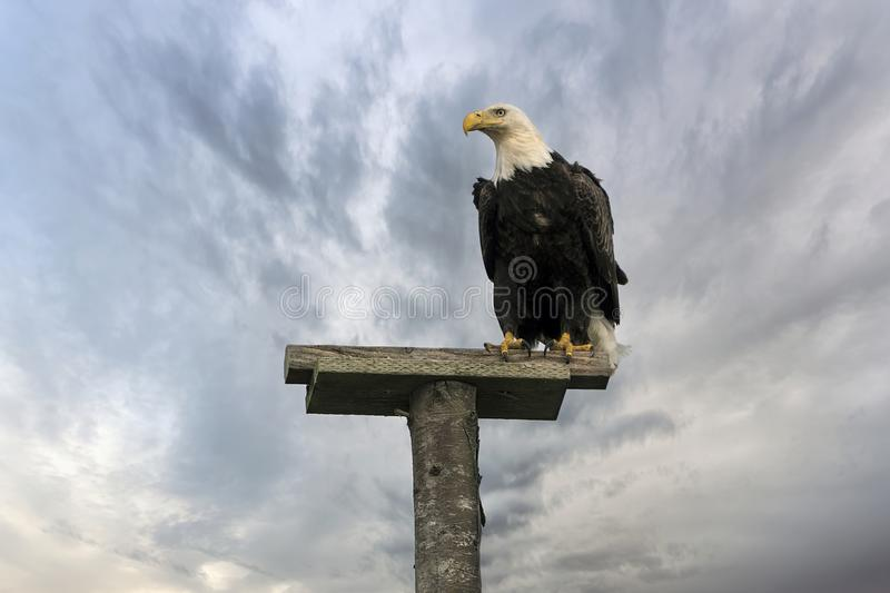American Bald Eagle Perched on a Pole. American Bald Eagle perched on top of a tree pole at Long Beach Peninsula beach in Washington State royalty free stock image