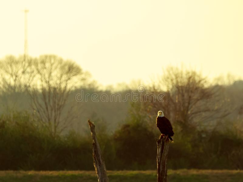American Bald Eagle. Perched on a tree stump in Searcy, Arkansas royalty free stock images
