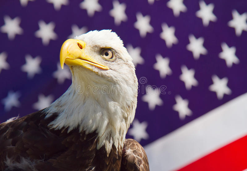 American Bald Eagle. This is a photograph of an American Bald Eagle perched in front of the American flag stock photography