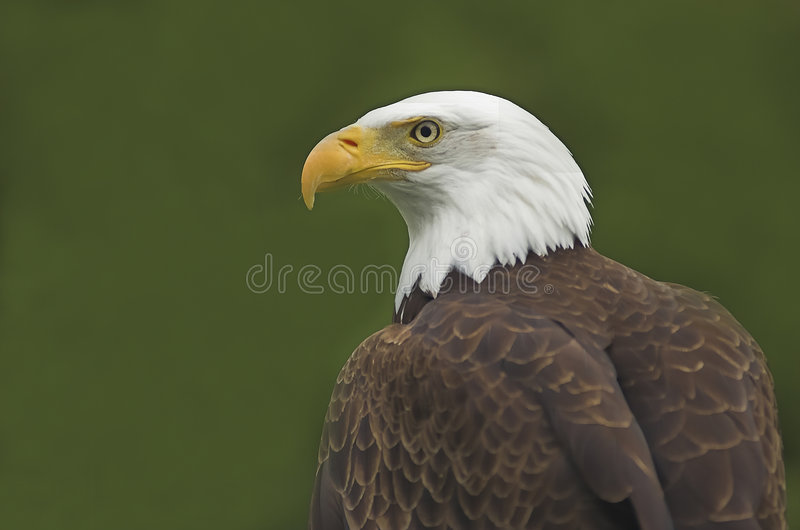 American Bald Eagle Portrait stock images