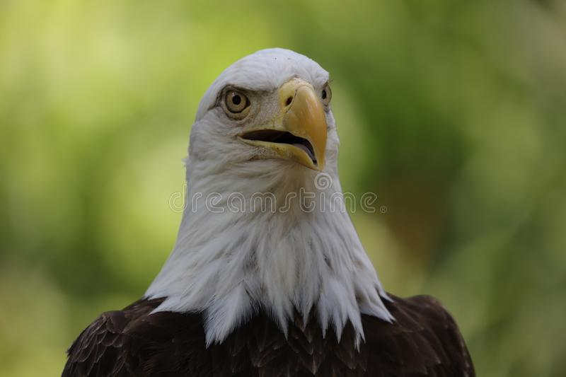 The American Bald Eagle Portrait Stock Photo Image Of Wildlife