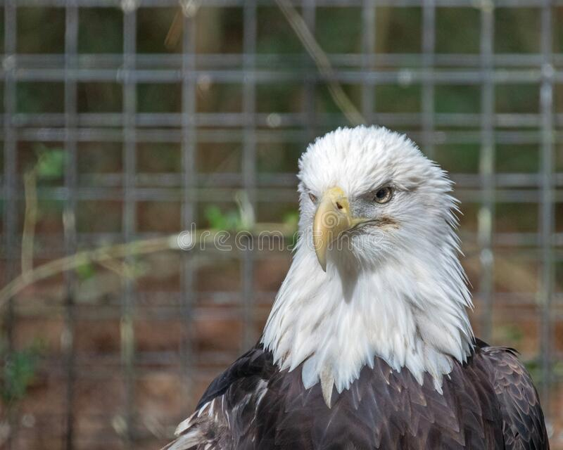 American Bald Eagle in a Rehab Center stock images