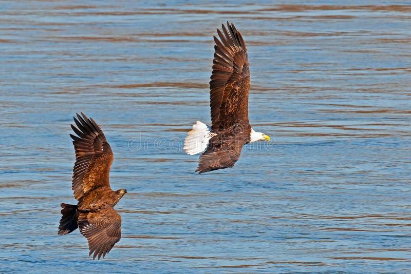 Download American Bald Eagle's stock image. Image of juvenile - 26630243