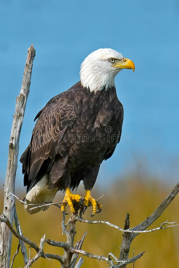 American Bald Eagle. Sitting In Some Trees stock photography