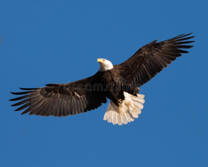 American Bald Eagle soars overhead. American Bald Eagle, symbol of the United States of America,  soars overhead as it keeps a lookout for prey at the Conowigo stock photography