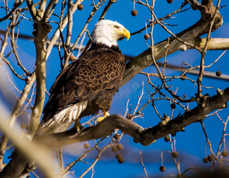 American Bald Eagle standing in Tree - 2. American Bald Eagle, symbol of the United States of America,  perches in a tall tree as it keeps a lookout for prey at royalty free stock images