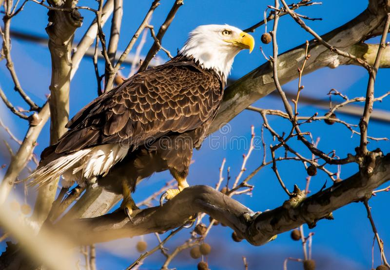 American Bald Eagle standing in Tree. American Bald Eagle, symbol of the United States of America,  perches in a tall tree as it keeps a lookout for prey at the royalty free stock photo
