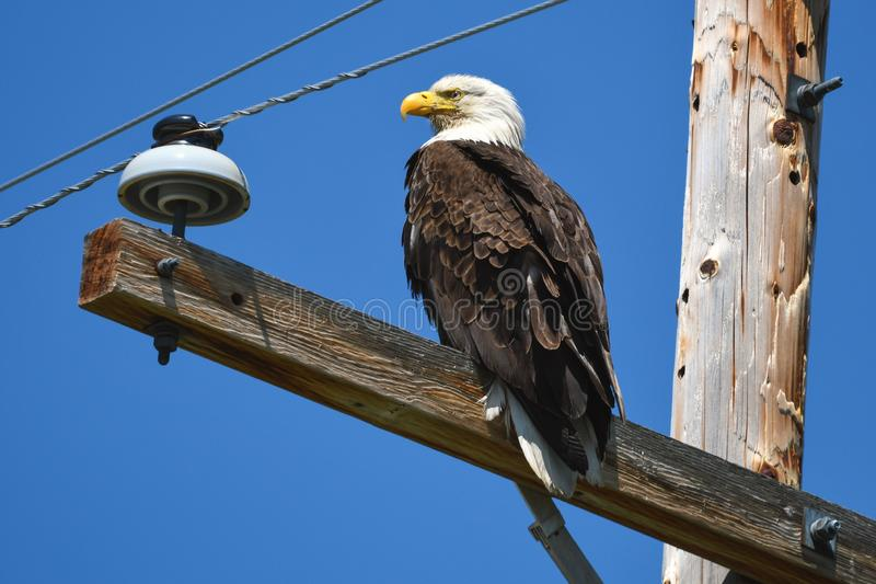 American bald eagle on telephone pole in Klamath Basin. A bald eagle ignores traffic and people while perched on telephone pole in rural area north of Klamath royalty free stock image