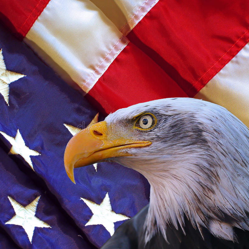 American bald eagle and USA flag. Portrait of bald eagle in front of a folded american flag stock photography
