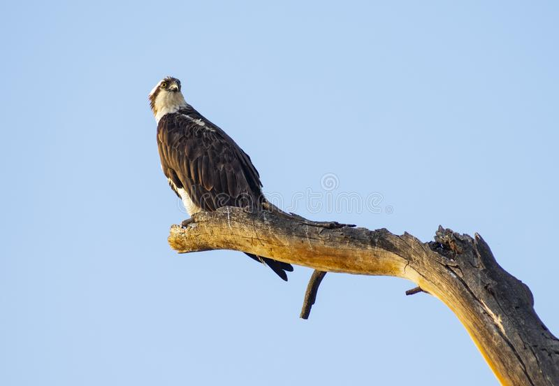 American Bald Eagle Youth Stands on a Jag Big Bird Watching. Big American Raptor and Eagle waits looking for a reason to fly stock photo