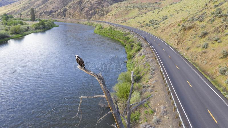 American Bald Eagle Youth Stands on a Jag Big Bird Watching. Big American Raptor Eagle waits up high looking for a reason to fly stock image