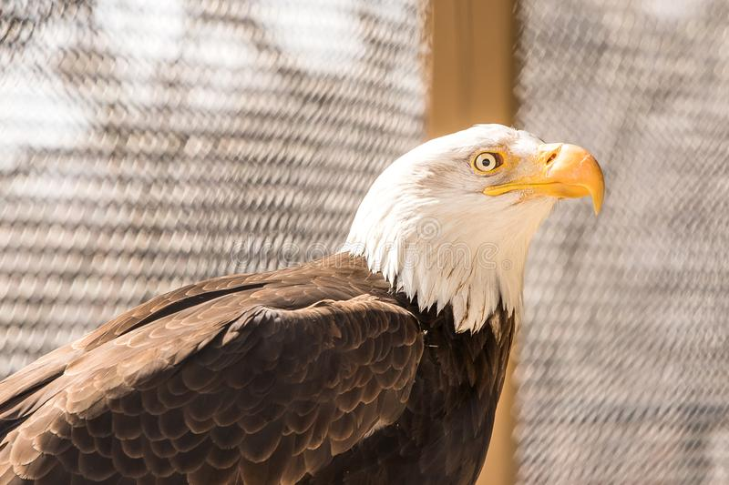 An American Bald Eagle at the zoo. stock images
