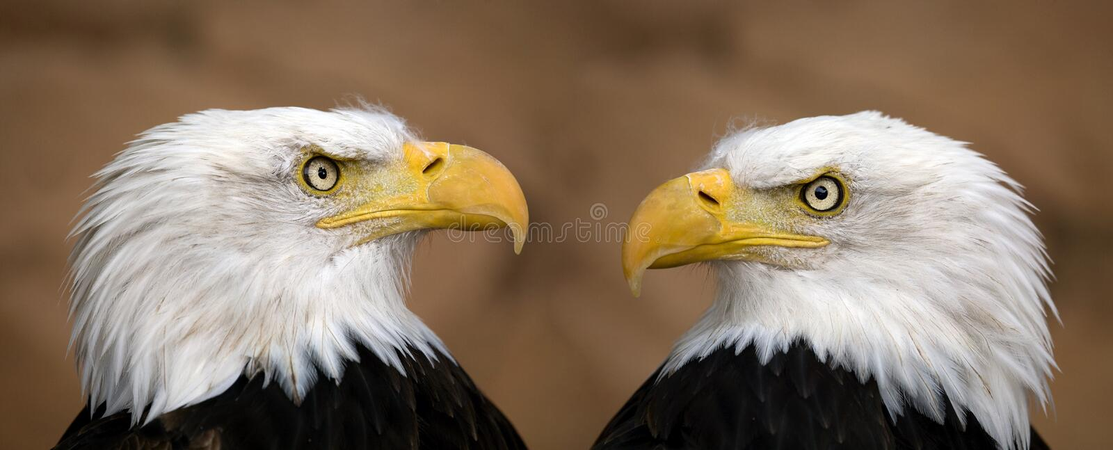 American bald eagles royalty free stock photography