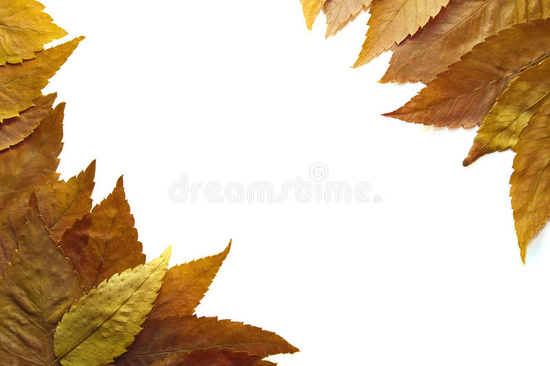 American Beech Tree Leaves Background 2 royalty free stock photos