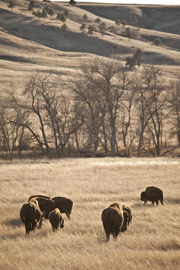 American bison. In south dakota, usa stock photography