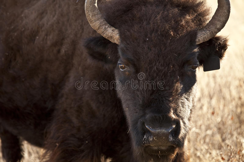 American bison. In south dakota usa royalty free stock image
