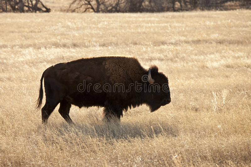 American bison. In south dakota usa royalty free stock photo