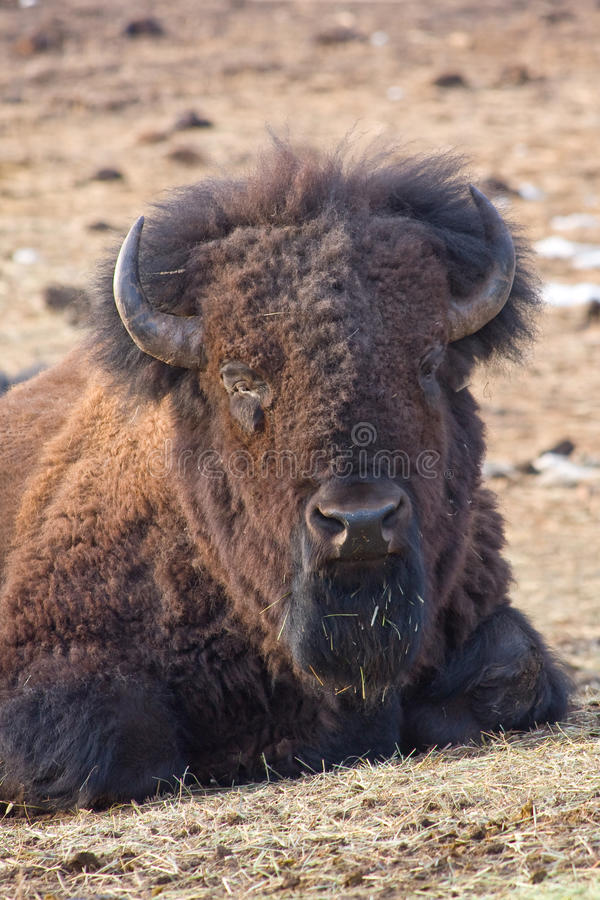 Download American Bison Stock Photo - Image: 13635200