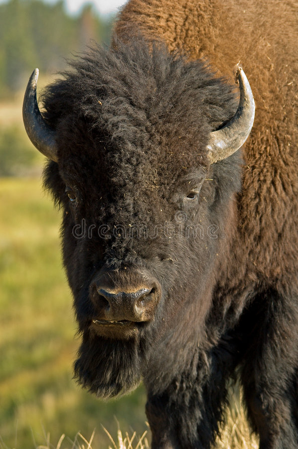 American Bison. In Yellowstone NP royalty free stock photography