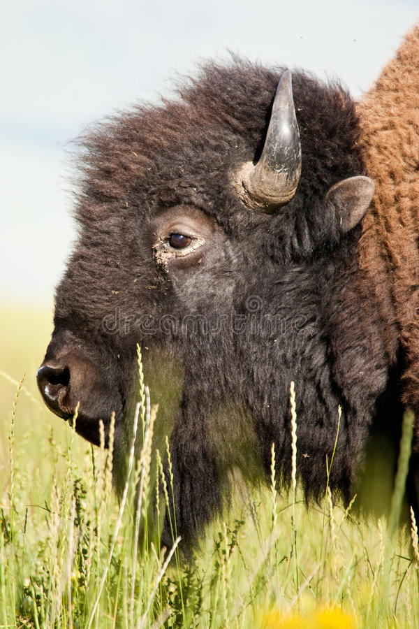 American Bison. Closeup Profile Portrait of American Bison stock images