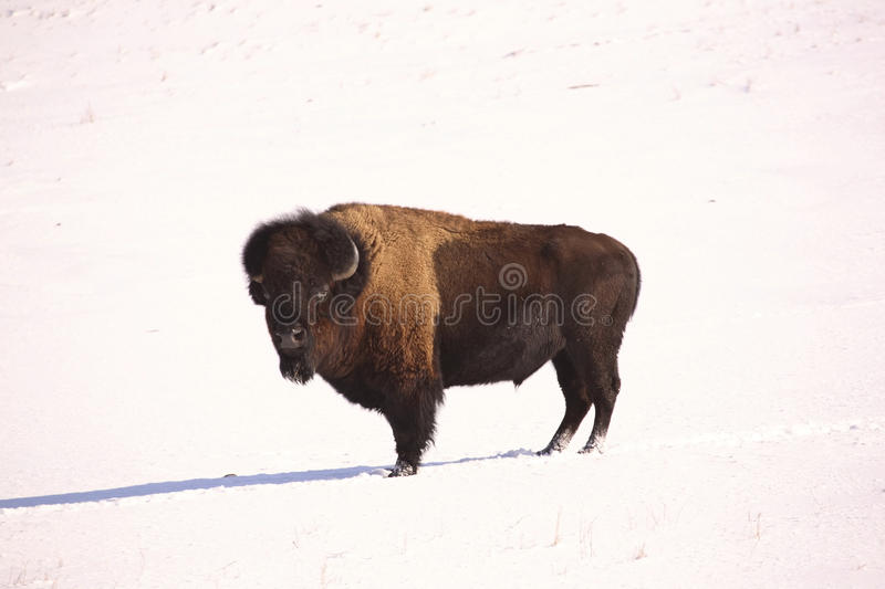 American Bison. In snow covered field of Saskatchewan royalty free stock images