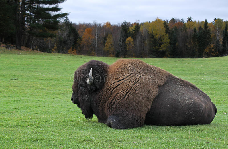 Download American bison stock image. Image of farm, alfa, down - 16787139