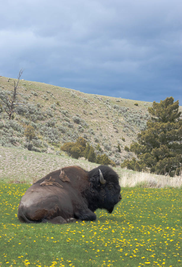American Bison. An American Bison relaxes in a field in the foothills of the Rocky Mountains royalty free stock images