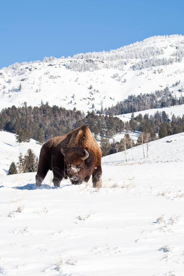 American Bison. Single American Bison Grazing in Snowy Field with Snow Covered Trees in Background stock photography