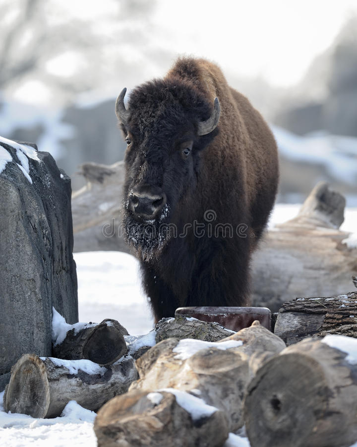Download American bison stock photo. Image of mammal, bison, snow - 18021534