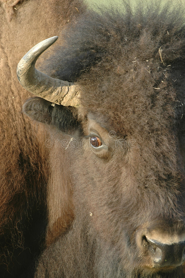 American Bison. A close headshot portrait of an American Bison found in North Dakota royalty free stock image