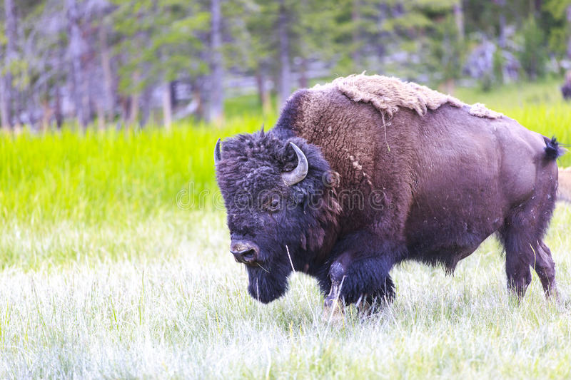 Download American Bison Stock Photos - Image: 25797693