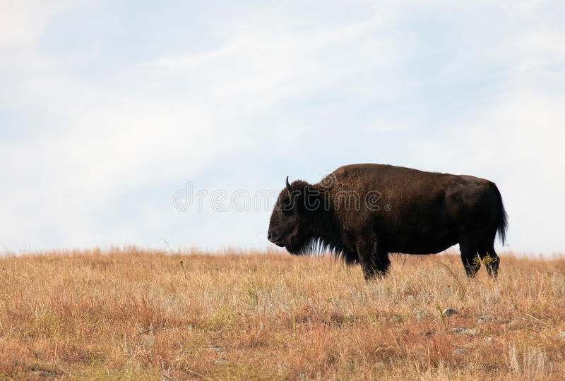 American Bison. Profile of an American Bison (Buffalo) standing by himself on the prairie of Custer State Park, in South Dakota royalty free stock photography