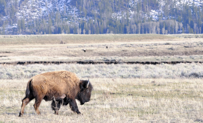 American Bison. A american bison in yellowstone national park stock photo
