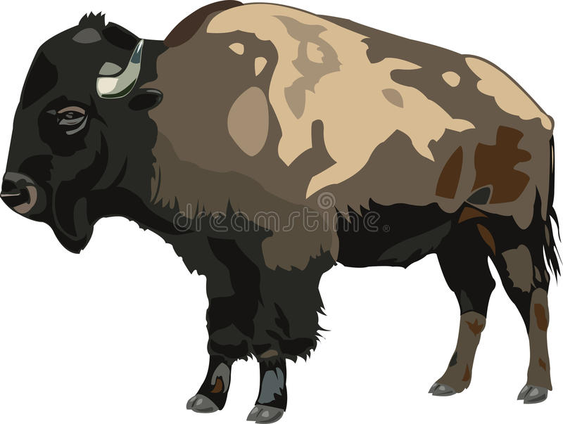 American bison. S are valuable bison, and they have very large body vector illustration